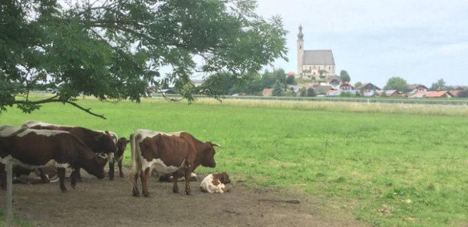 Anger in Bayern am Königssee-Bodensee-Radweg: Kühe und Kirche
