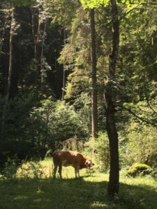 Kuh steht im Wald - vor Bad Kohlgrub