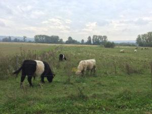 Rheinbüffelkühe in Ingelheim am Rhein - Rheinradweg