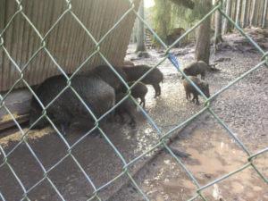 Schönbuch Saurucken Wildschweine - auf dem Hohenzollernradweg