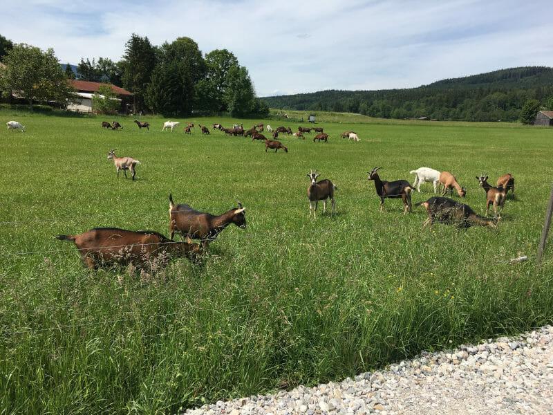 Ziegen bei Piding am Bodensee-Königssee-Radweg