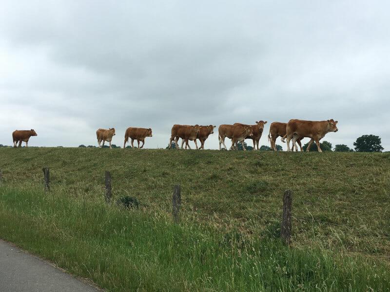 Kühe vor Verden-Hönisch, die auf einem Weser-Deich auf einer Reihe stehen - Weserradweg
