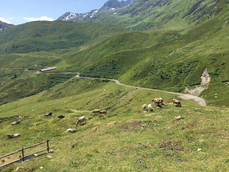 Abfahrt mit Kühen zwischen Oberalppass und Tavetsch am Rhein