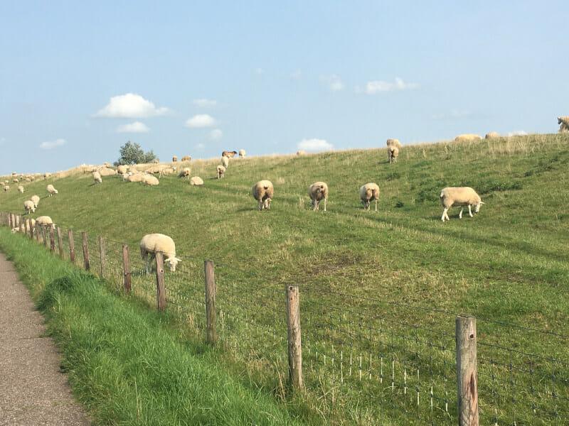 Schafe entlang der Weser - vor Rodenkirchen