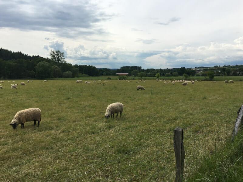 Schafe bei Lütter auf dem Fuldaradweg