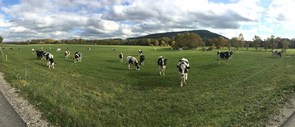 Kühe in Dörnfeld am Ilmtalradweg.